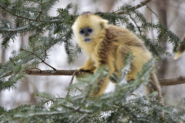 Mandatory Credit: Photo by Xinhua/REX/Shutterstock (5540469i) Golden monkeys at Dalongtan Golden monkeys Research Center in Shennongjia, central China's Hubei Province Dalongtan Golden monkeys Research Center, Shennongjia, China - 13 Jan 2016 The Shennongjia Nature Reserve is home to the rare Golden monkeys, which is on the verge of extinction and was first spotted in Shennongjia in the 1960s. The amount of Golden monkeys in Shennongjia right now has doubled since the 1980s because of better environmental protection