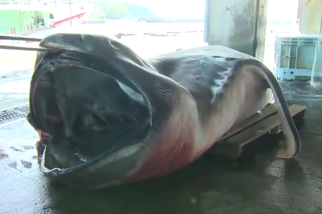 megamouth shark caught in Japan