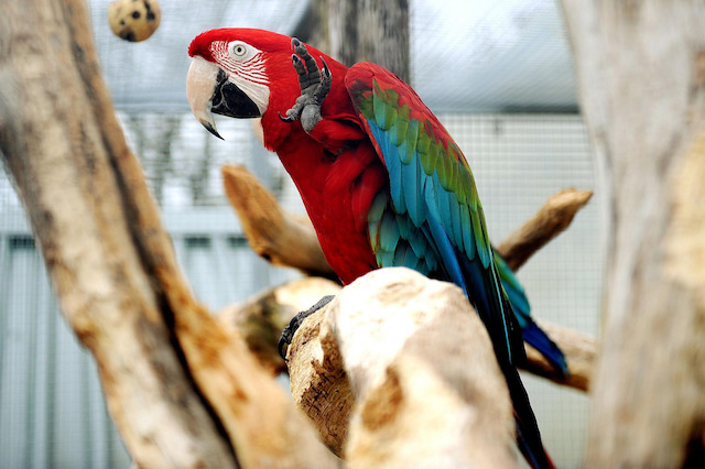 A Macul parrot at Trotters World of Animals in Cumbria.