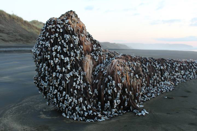 Mysterious barnacle-covered object washes up on NZ beach