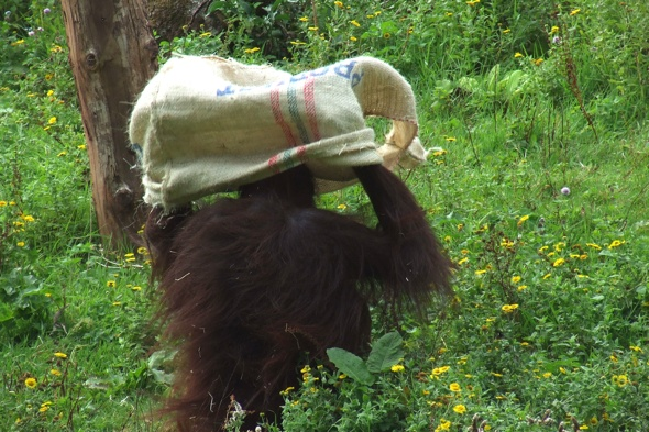 Orangutan at Paignton Zoo makes onesie out of coffee sack