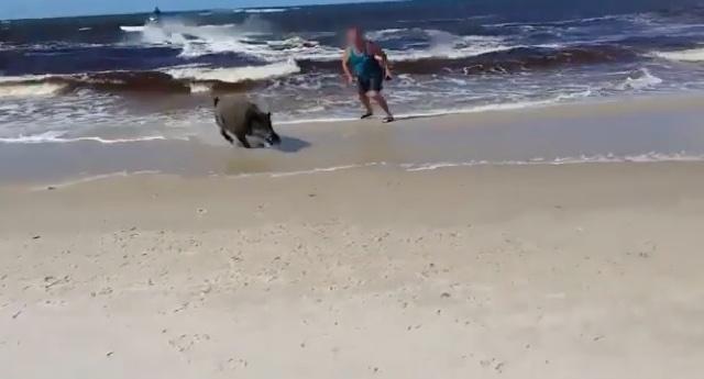 Wild boar attacks sunbathers on Polish beach