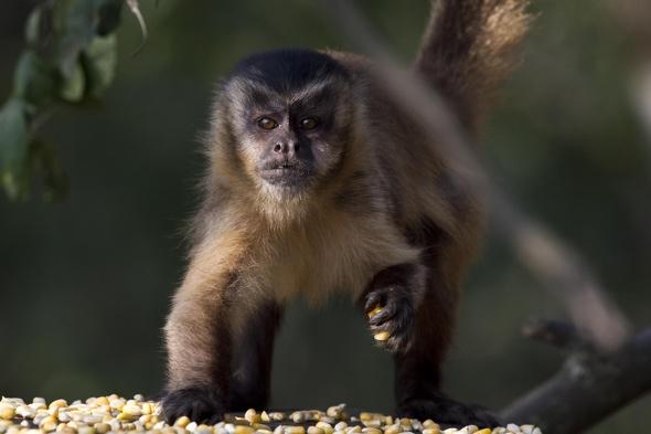 Capuchin monkeys escape Cumbria zoo