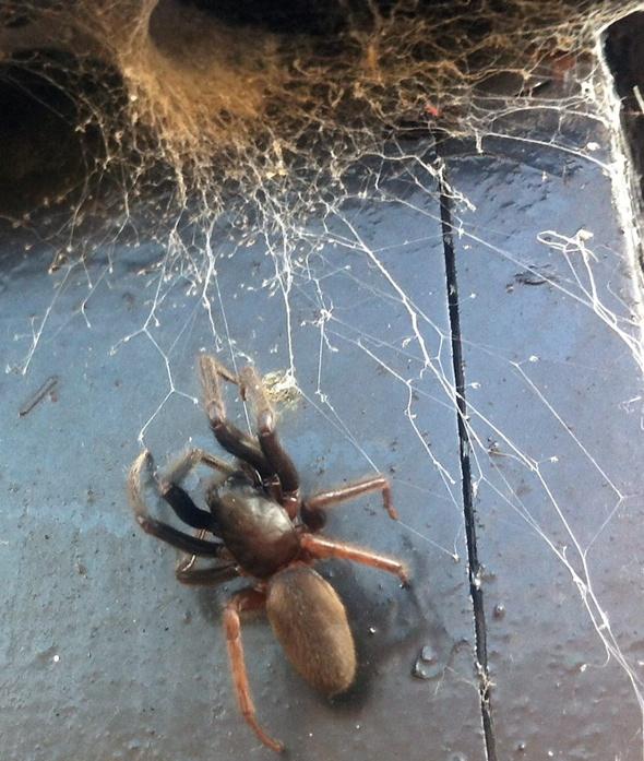 Huge tube web spider in Devon