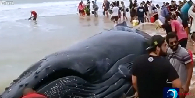 Beachgoers join together to rescue stranded 45ft humpback whale