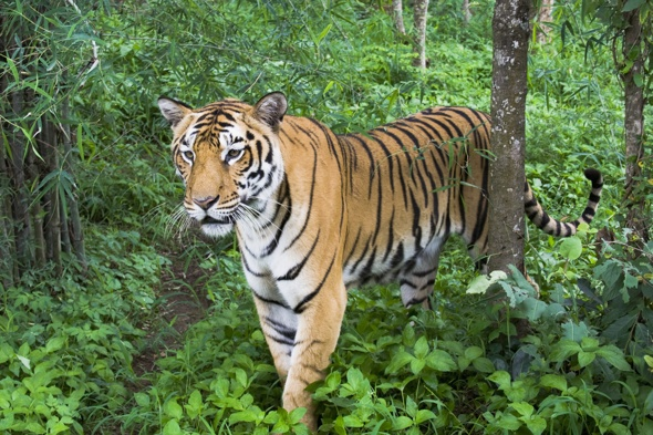 Tiger snatches woman away in front of husband in India