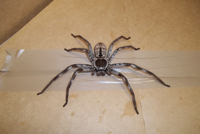 huntsman found in Uk family's luggage