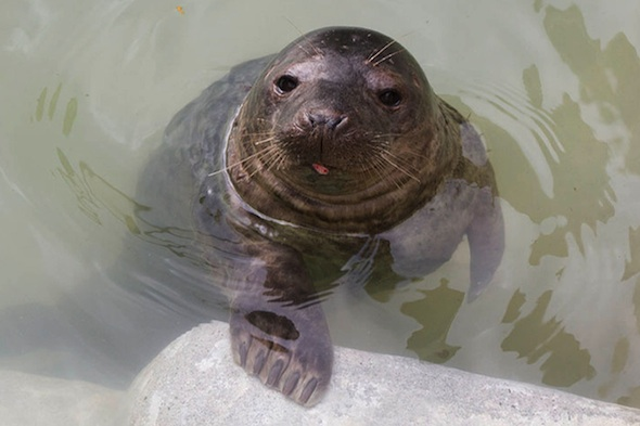A seal pup which was washed up into a garden in Cornwall during the storms is ready to be released back into the sea