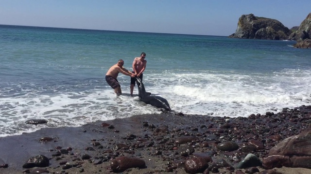 Tourist rescues stranded 12ft shark on Cornwall beach