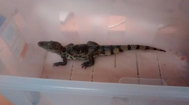 Two-foot caiman found in Somerset reservoir