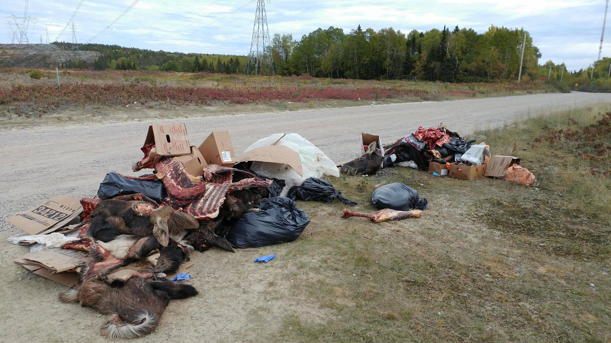Des carcasses et têtes d'orignaux abandonnées en