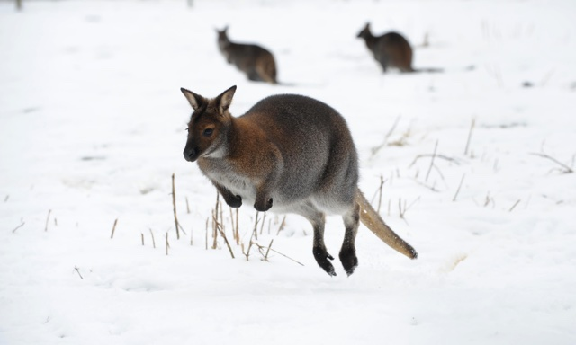 Escaped wallaby causes mayhem on rail network says train operator