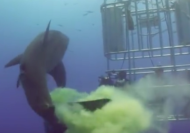 Great white shark poos on cage divers