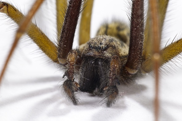 Why giant mouse-sized spiders could invade your home