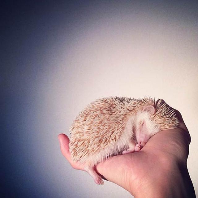Instagram Darcy The Flying Hedgehog