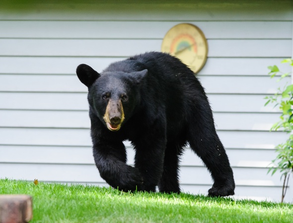 Bear leads police on four-hour chase through New Jersey neighbourhood