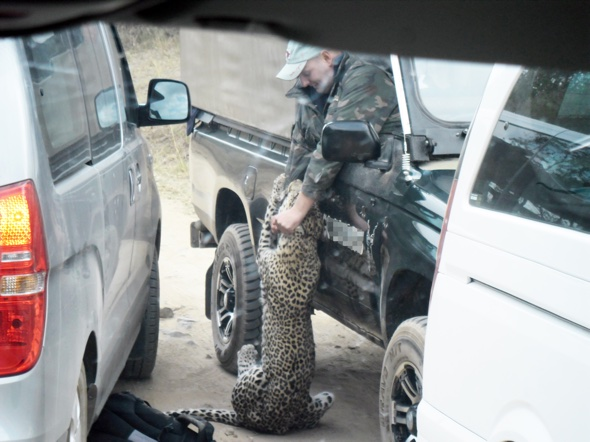 British safari guide attacked by leopard in car full of tourists
