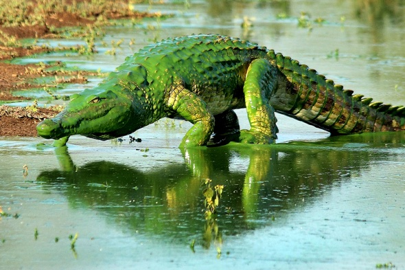 The Hulk? Bright green crocodile emerges from river
