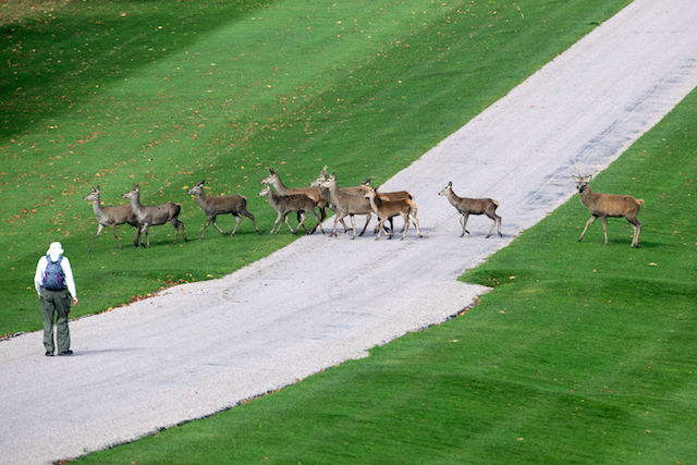 A walker encounters deer in Windsor Great Park in Berkshire. PRESS ASSOCIATION Photo. Picture date: Wednesday October 25, 2017. Photo credit should read: Steve Parsons/PA Wire