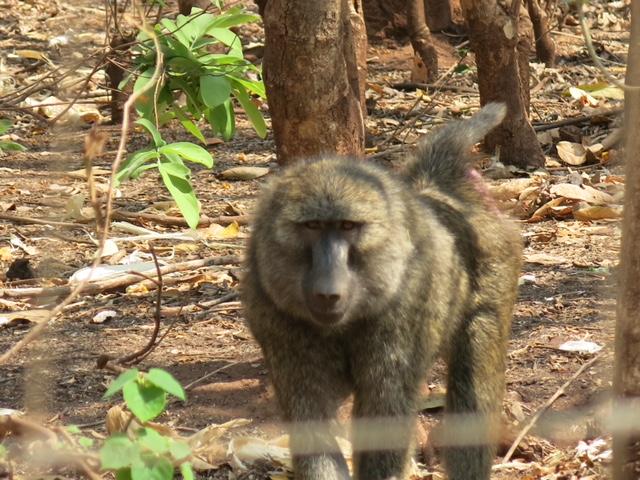 Un babouin secouru par le Lilongwe Wildlife