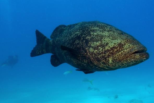 Goliath grouper fish eats 4ft shark whole