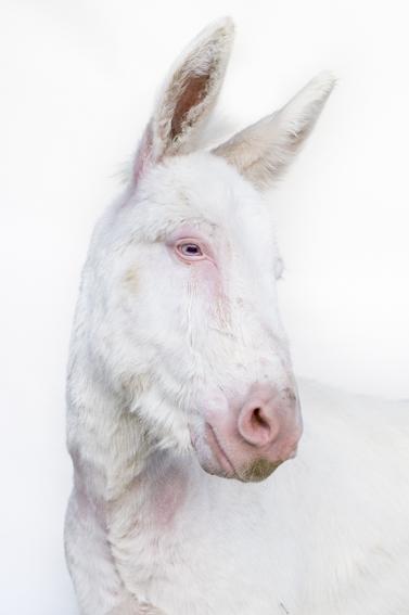 ASINO ALBINO DELL'ASINARA: l'asinello bianco dell'Asinara è una variante albina del più comune asinello...