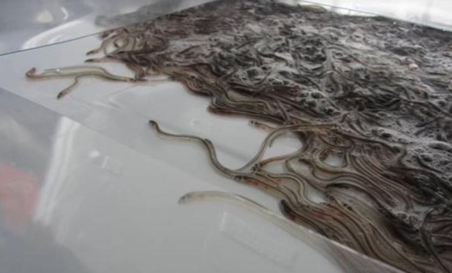 Passenger caught trying to smuggle 600,000 live eels onto plane