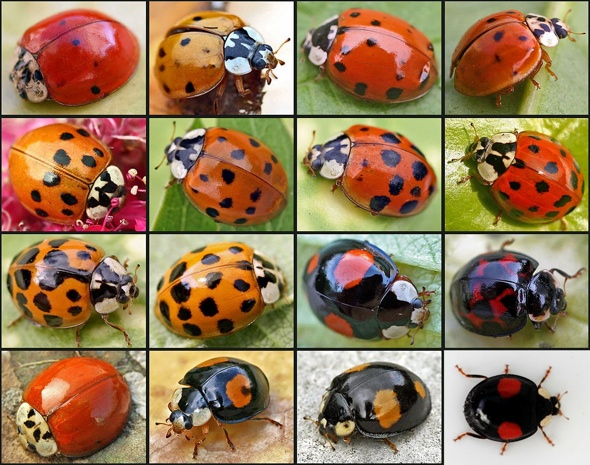 Deadly ladybirds invading Britain from US