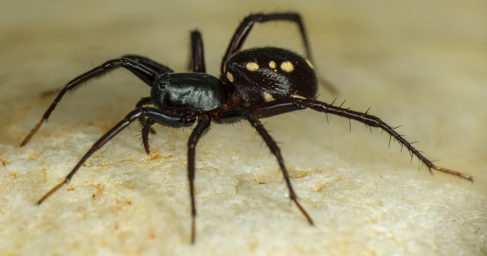R. Whyte And a new species of ant eating spider Zodariidae Habronestes. & New Spiders Have Just Been Discovered In The Australian Bush