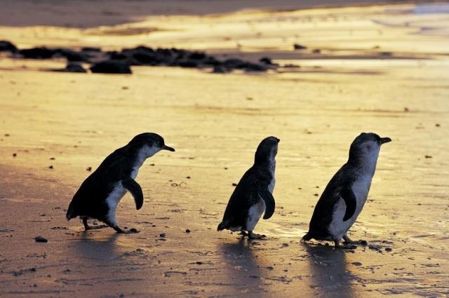 Penguin Parade, Australia