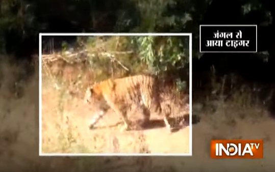 Tiger mauls woman after gatecrashing wedding