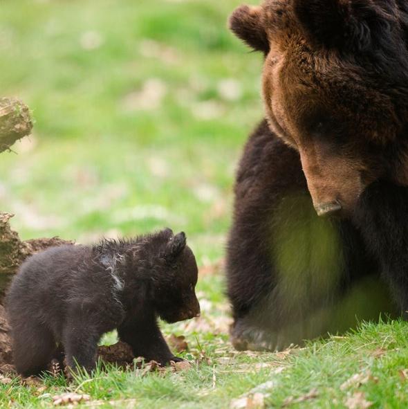 bear-cub-put-down-swiss-zoo