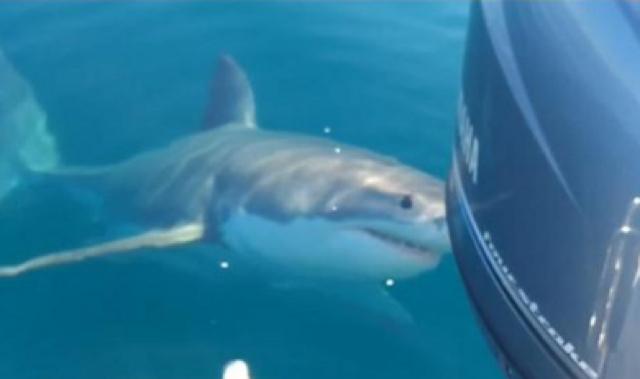 Fishermen berate great white shark as it wanders close to boat