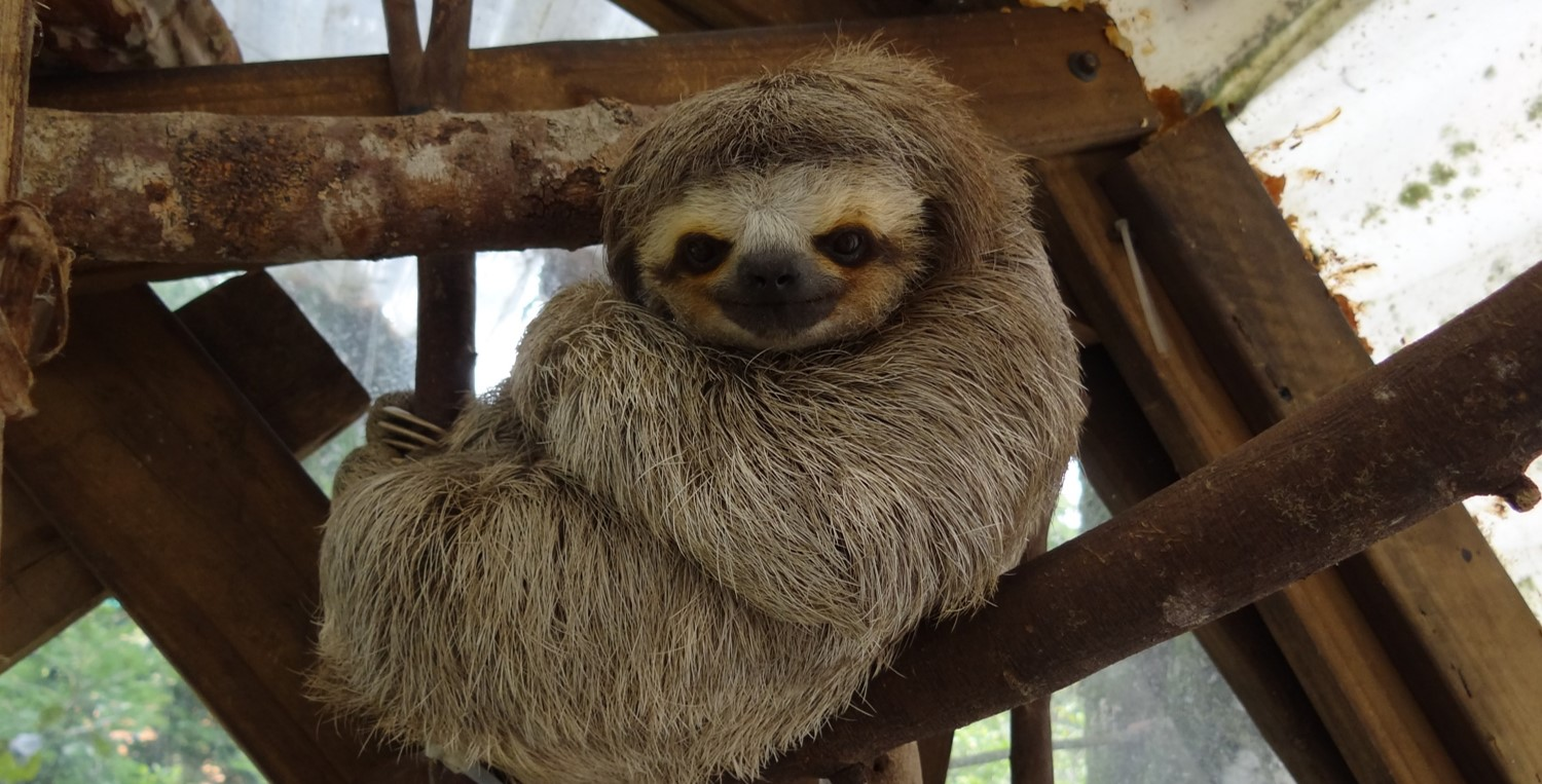 """A three-toed sloth named """"Lucky"""" at AIUNAU sanctuary in"""