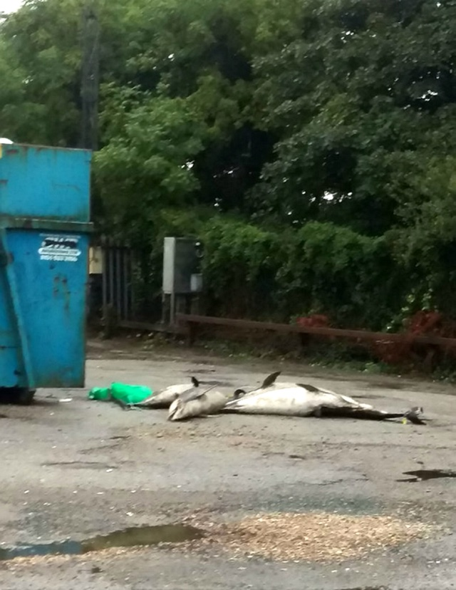 Dead porpoises dumped at council tip in Cornwall