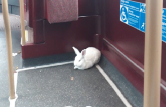 White rabbit spotted travelling on Tube and bus