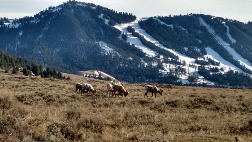 Big Horn Sheep at Miller Butte in Jackson Hole