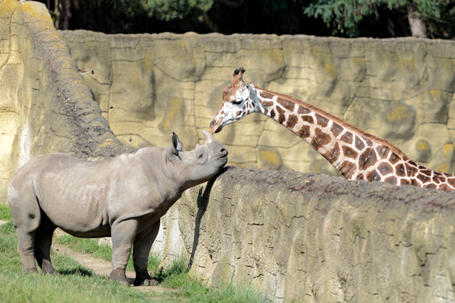 Mandatory Credit: Photo by Slavek Ruta/REX/Shutterstock (5725755a) A black rhino or hook-lipped rhinoceros male called Josef has a giraffe for a neighbor A black rhino cub with a giraffe for a neighbor, Dvur Kralove Zoo, Czech Republic - 10 Jun 2016 Two rhinocero were born on January in Zoo Dvur Kralove nad Labem in 2015. They are critically endangered in the wild nature. The Dvur Kralove Zoo has the the largest population of African animals in Europe.