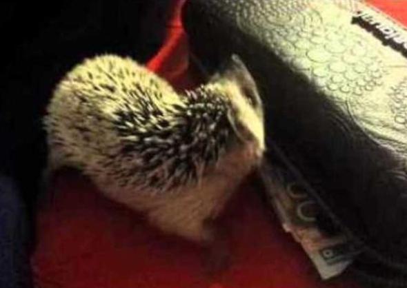 Thieving hedgehog targets wallet (video)