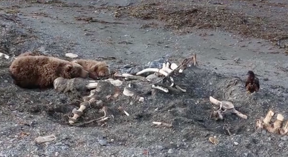 Bear scares off eagle in fight over whale carcass