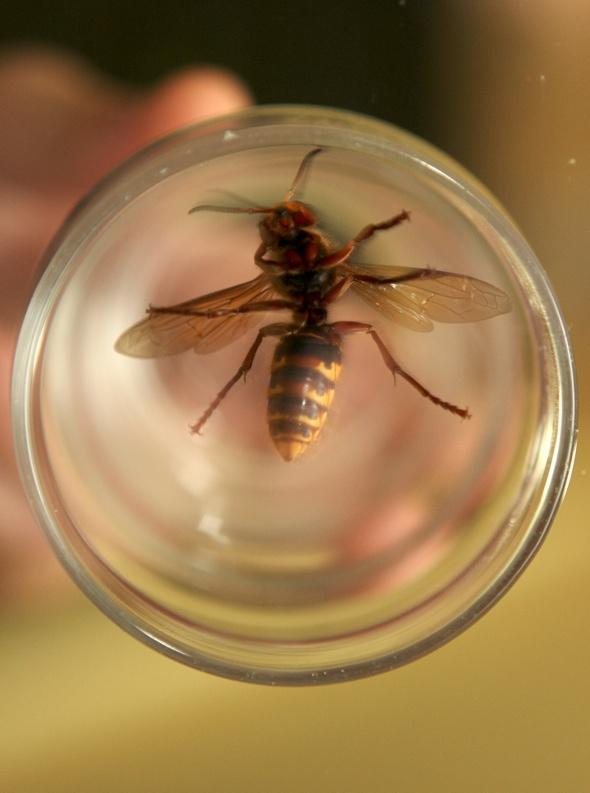 Man spots deadly Asian hornet in Manchester