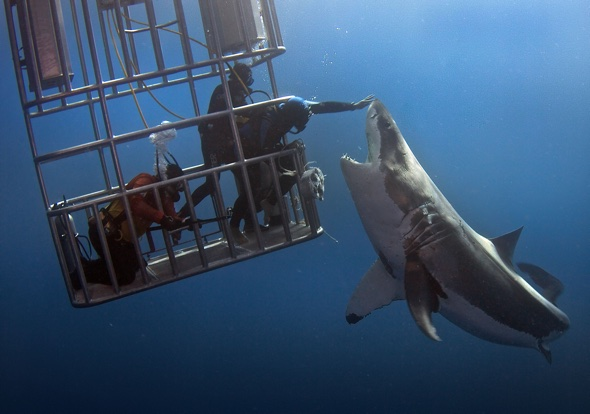 Man 'pats' huge great white shark, doesn't worry about arm