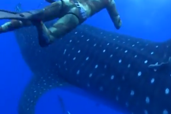 Whale shark crashes into terrified diver