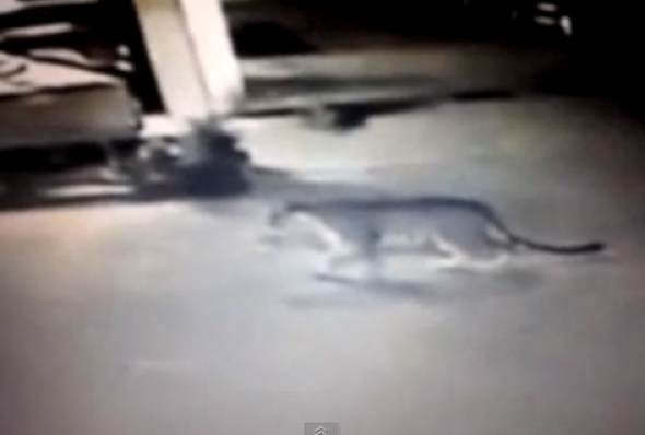 Video of tiger on the loose in Paris