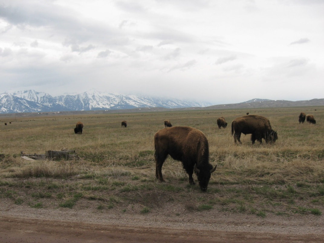 Bison on Antelope Flats in Jackson Hole