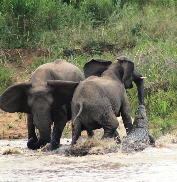 Crocodile attacks elephant - and immediately regrets it