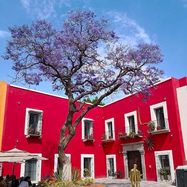 Es hora de caminar mirando al cielo: la primavera de jacarandas está aquí