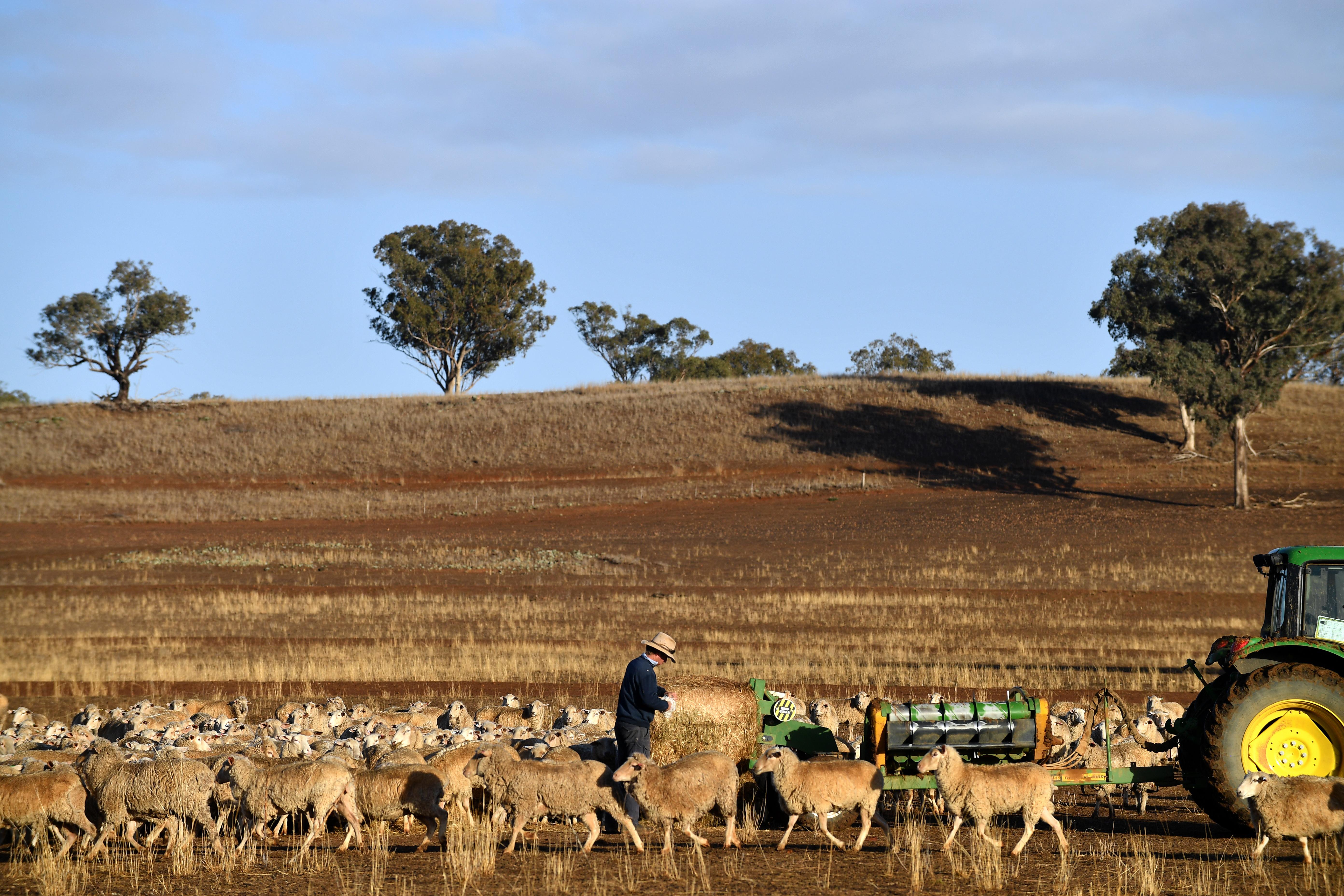 Un agriculteur nourrit ses moutons avec une balle de foin, sa terre étant trop sèche pour que l'herbe...