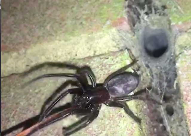 Pest controller finds wall in own house infected with venomous spiders