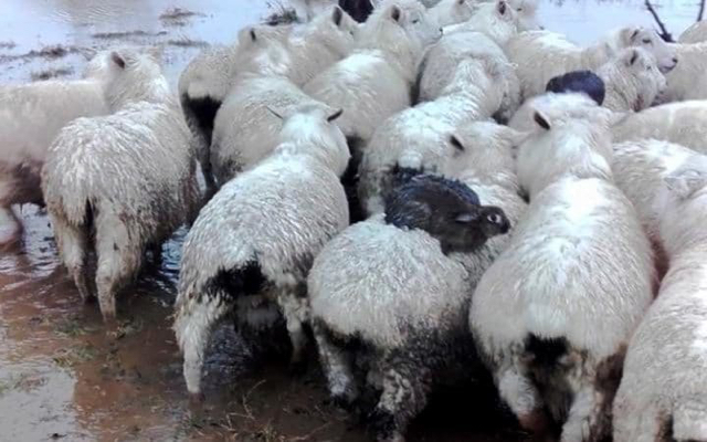 Woolly jumpers: rabbits ride on sheep to stay dry in flood